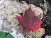 red leaf on fungi