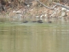otters-swimming