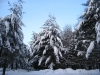 snow ladened trees blue sky